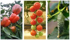 Paprika Gurke Tomate anbauen