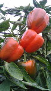 Paprika anbauen im Gewächshaus