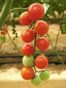 gem se anbauen tomaten gurken paprika das ganze jahr. Black Bedroom Furniture Sets. Home Design Ideas