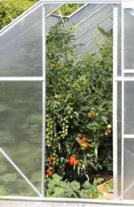 Tomaten im Tomatenhaus mit Doppelstegplatten Kunststoff